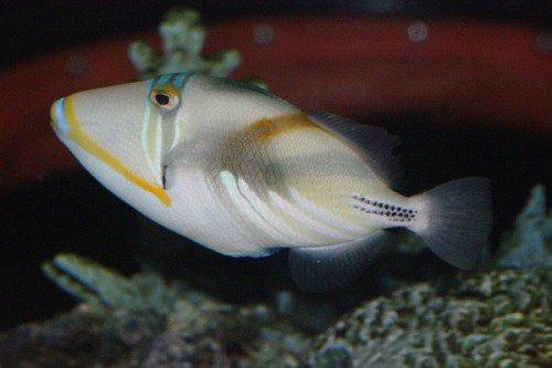 Lagoon Triggerfish, Rhinecanthus aculeatus. Humuhumunukunukuapua'a (fish that grunts like a pig)