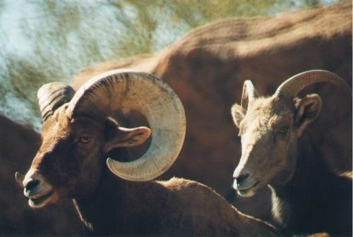 Bighorn Sheep. Live at higher altitudes.
