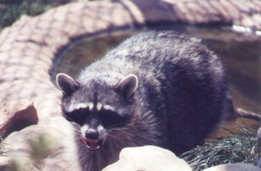 Raccoon. We probably don't have enough water for this one.