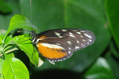 Golden Longwing. South America.