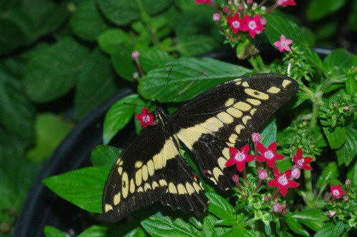 Thoas Swallowtail. North and Central America.