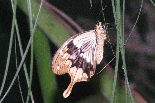 Mocker Swallowtail.
