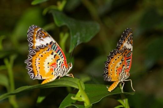 Orange Lacewing.