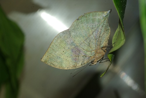 Leafwing of some kind. I don't know why it's green.