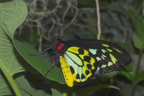 Priamus Birdwing. Male.