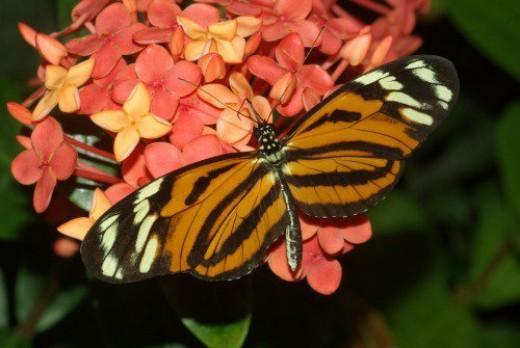 Harmonia Tigerwing