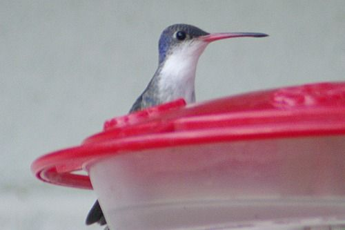 Violet-crowned Hummingbird.