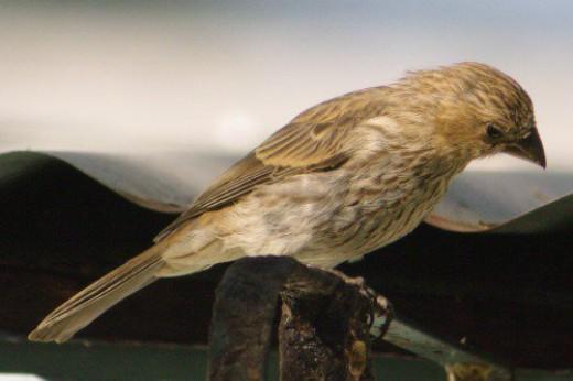 House Finch. Female.