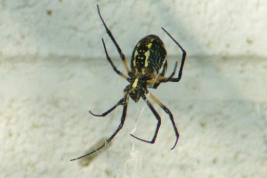 Orb Spider.