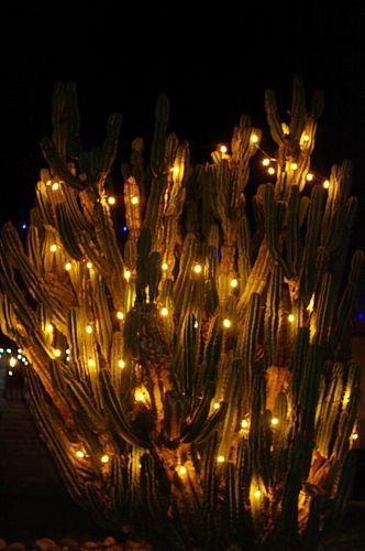 Someone put lights all over their cactus. This actually serves two purposes. People can run the lights at night on freezing nights to protect the cactus from freezing.