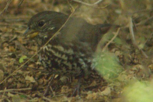 Fox Sparrow - Passerella iliaca. Rummaging in the leaf litter for food.