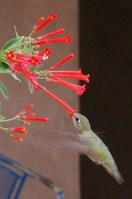 Another unidentified hummer taking a sip.