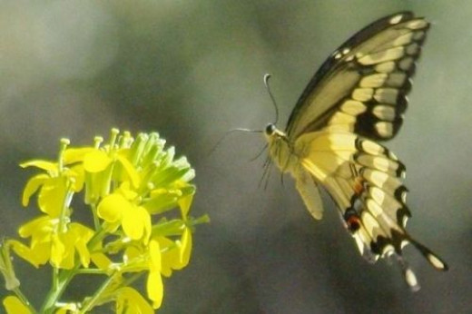 Giant Swallowtail (Papilio cresphontes). I don't know the species of flower.