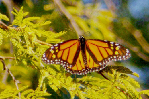 Another monarch. Just an orange dot in the distance, so I used my telephoto. Taken in December!