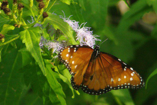 Queen (Danaus gillippis). A common butterfly in southern Arizona.