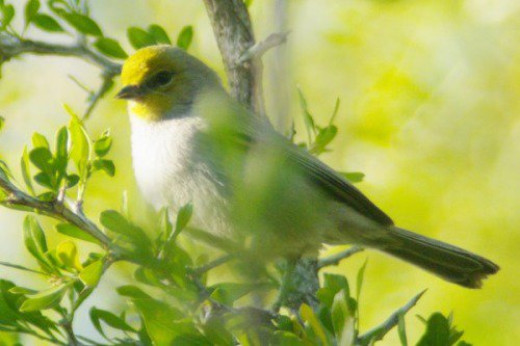 Verdin. These small birds are common in the area, they nest in the park.
