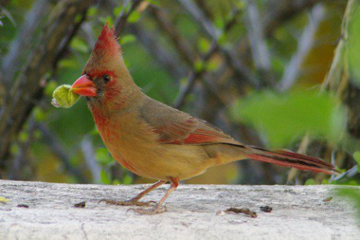 This female Cardinal couldn't figure out how to eat the fruit. She finally gave up. (Cardinalis cardinalis)