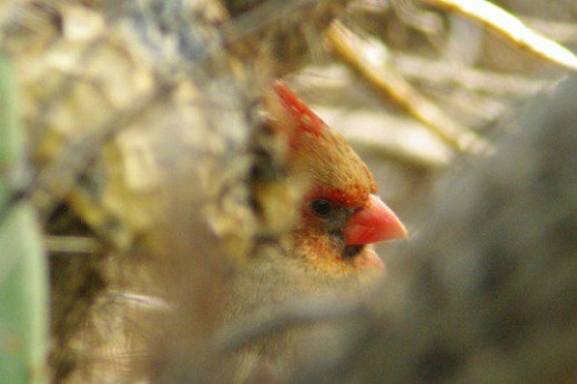 The same Cardinal. Sometimes she's out in plain sight, and other times she hides.
