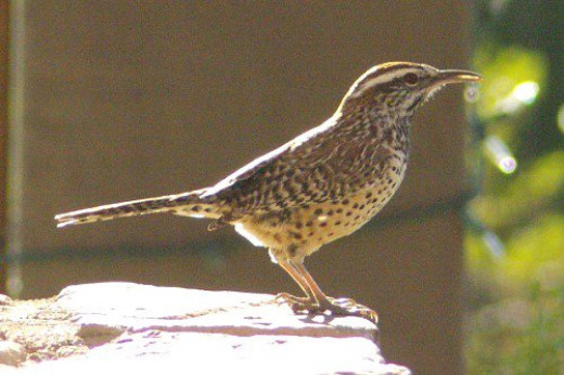 Cactus Wren (Campylorhynchus brunneicapillus) Yes, they like to sit on cactus.