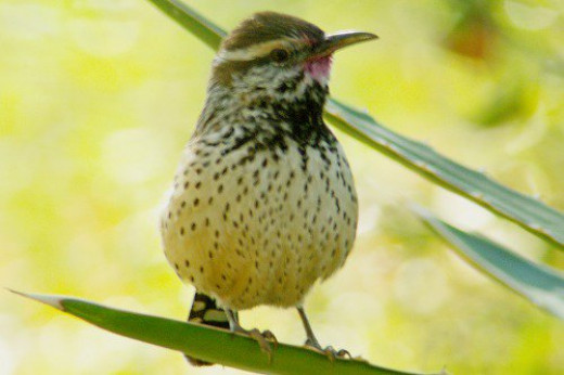 Hmmm. This Cactus Wren had just eaten a tasty red fruit! I want some!