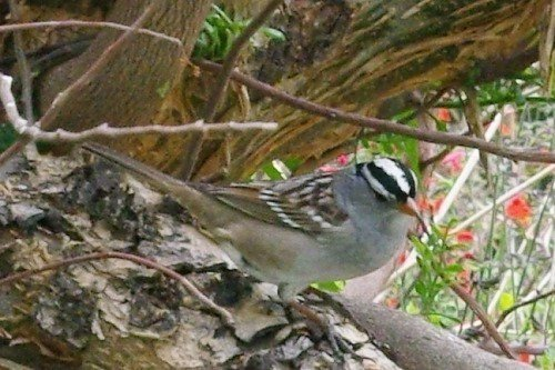 White-crowned Sparrow (Zonatrichia leucophrys). Common here in winter. This is an adult.