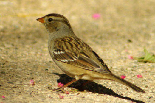 Immature White-crowned Sparrow.