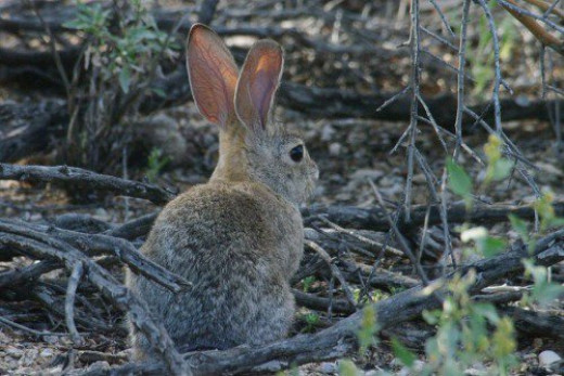 Cottontail Rabbit (Sylvilagus audubonii). These are frequent visitors.