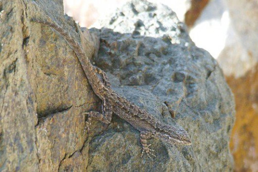 Ornate Tree Lizard (Urosaurus ornatus). I like to think of these common lizards as tiny dinosaurs, and their scientific name reflects it.