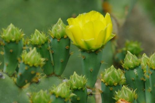 Prickly Pear (Opuntia engelmannii). This cactus grows worldwide; this is the most common local variety. Flowers vary to peach and orange.