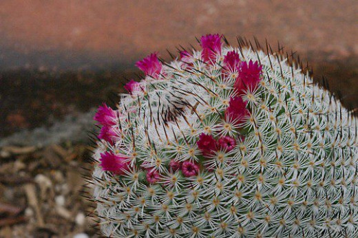 Mammillaria sp. I don't know which one. There is a ramada with these less common plants in planters around the perimeter.