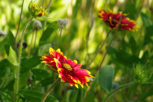 Indian Blanket (Gaillardia pulchella). Also called Blanketflower. Because of the bright colors. Often seen on Mount Lemmon highway.