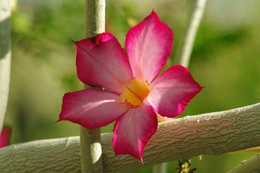 Desert Rose aka Madagascar Rose (Adenium obesum).