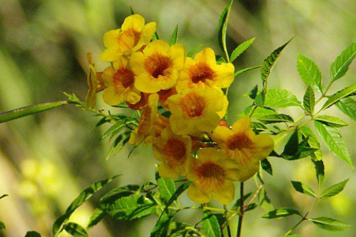 Trumpetflower (Tecoma stans). Probably a cultivar, since native species flowers are all yellow. A favorite of hummingbirds.