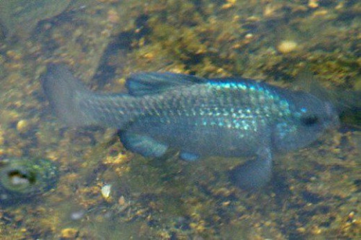 A little pool had lots of the beautiful blue fish last summer.