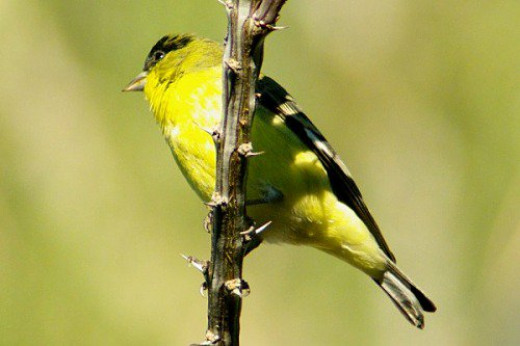 Lesser Goldfinch male (Spinus psaltria). They like seeds. On Ocotillo.