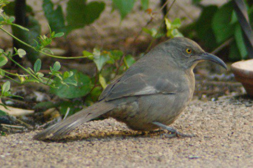 """Curve-billed Thrasher (Toxostoma curvirostre). Their """"bob white"""" sounding call is a scold if they don't want you around."""