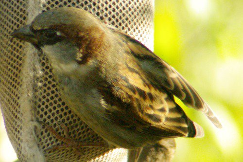 House Sparrow male.