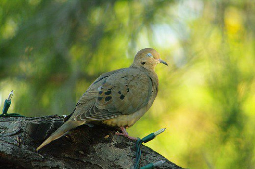 Sleepy Mourning Dove. Their soft call is refreshing.