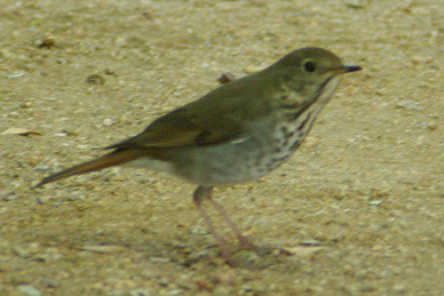 Hermit Thrush (Catharus guttatus). Only the second time I have seen one, I think.