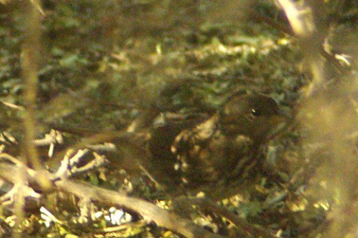 Fox Sparrow (Passerella iliaca). An elusive rarity, he hides in the shadows of a Hackberry, so he's hard to capture.