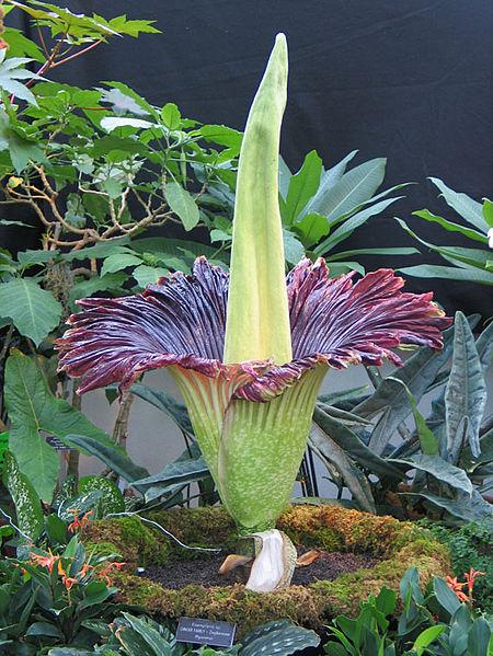 Carrion flower Corpse Flower