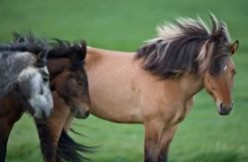 What do Icelandic Horses eat , Fish ?