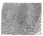 Fingerprint whorl. Courtesy of Victoria Police, Melbourne, Australia.