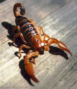 Notice the similarities between this scorpion and the lobster above. Yup, must be related!