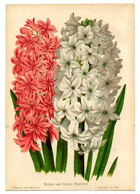 Hyacinth flowers in the vintage clip art. See the link below  to download this clip art at The Graphics Fairy.