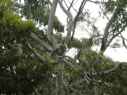 How much can a Koala bear