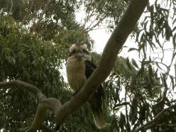 kookaburra is cheekybugga