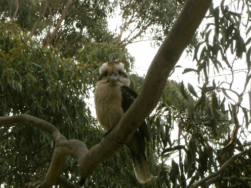 kookaburra is cheekybugga