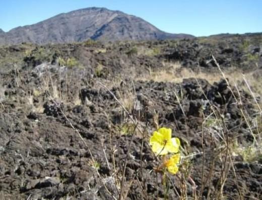 Flowers Growing in the Lava Field
