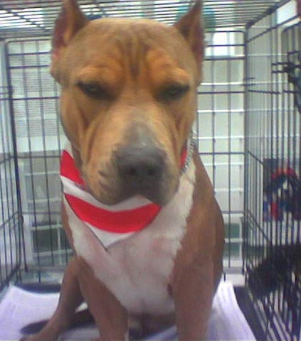 I overheard someone sayJackson, an Amstaff, should be put down just bc of a bad rep. 'He'll turn bc he got attacked.' He's housed with other dogs, and has never turned.